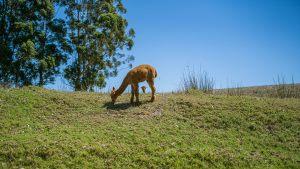 Manjimup Llamas